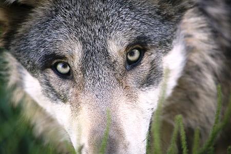 focus photo of gray wolf