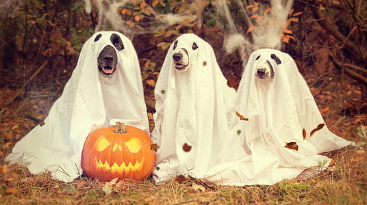 orange Jack-o-lantern between three dogs with ghost costume