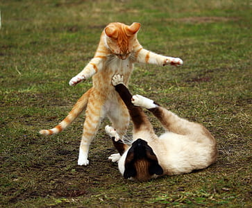 shallow focus photography of orange Tabby cat playing with white and brown siamese cat on green grass