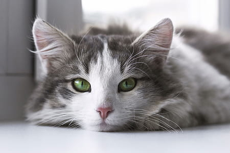 white and gray cat on white surface