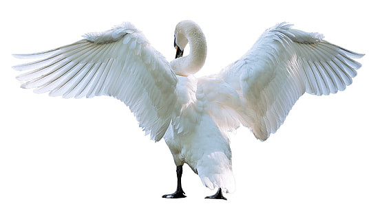 white swan spreading wing