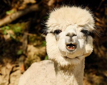 Llama close-up photo
