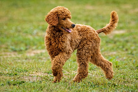 adult apricot standard poodle on green grass field during daytime