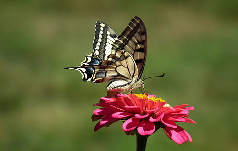 white, black, and beige swallowtail butterfly perched on pink petaled flower