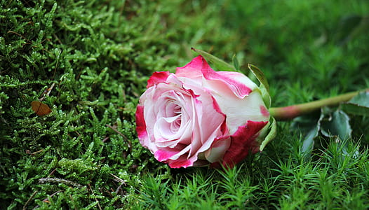pink and red rose