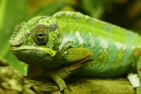 Closeup shot of a greenchameleon lizard
