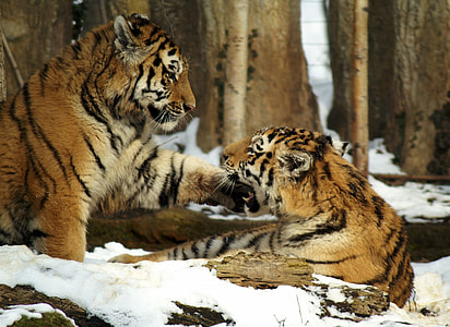 two tiger on filled snow during daytime