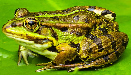 green and brown frog close-up photography