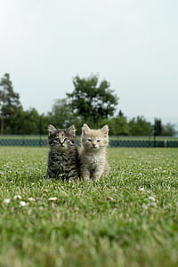 selective focus photography of two gray and brown Persian kittens