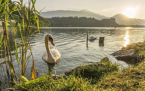 white swans on pond during sunrise