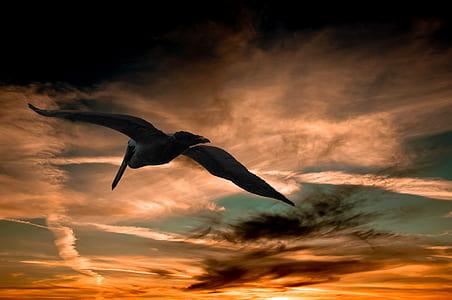 brown pelican flying under sky