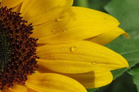 macro photography of sun flower