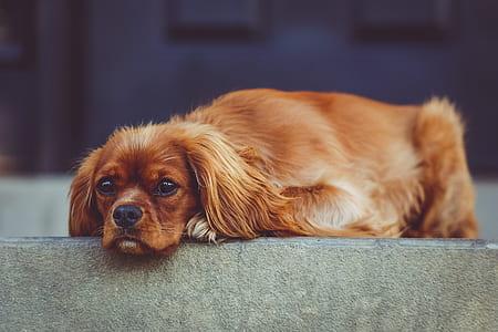 closeup photography of medium-coated red dog prone lying