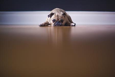 pug lying on floor near wall