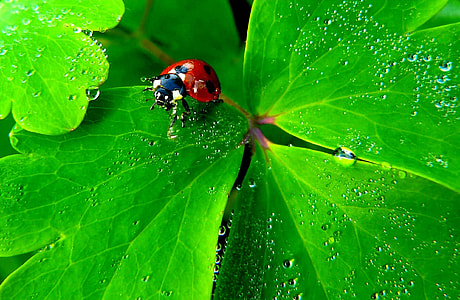 close-up photography red and black ladybug on green leaf
