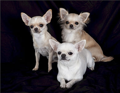 three assorted-colored Chihuahuas