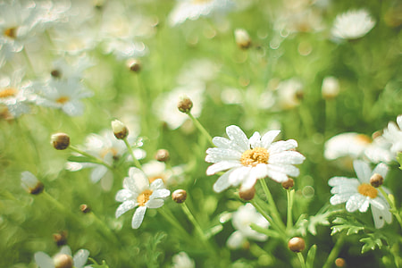 Summer Daisy Field
