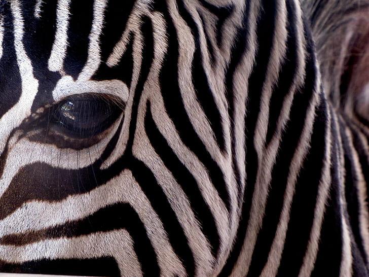 Zebra eye in macro shot photography