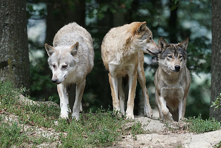 three gray wolves on green grass