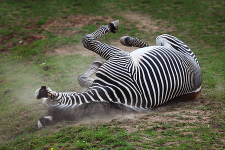 black and white zebra lying on ground during daytime