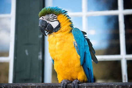 yellow and blue parrot