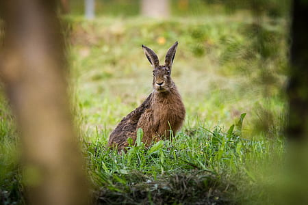 brown hare on green grass field