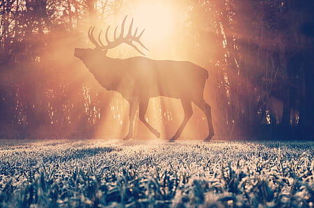 photography of deer