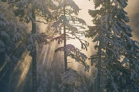 photo of green pine trees during snow season