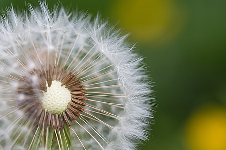 Half-Naked Flower Blowball/Dandelion