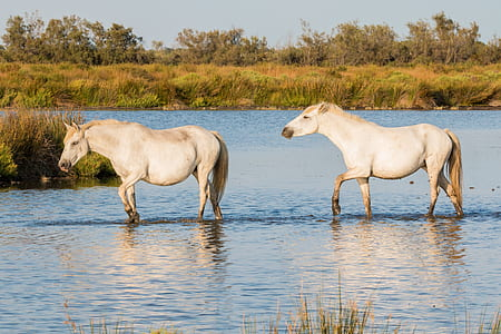 two white horses walking on body of water at daytime