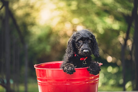 black cocker spaniel puppy in red metal pail