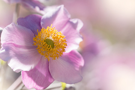 pink poppy flower in closeup photo
