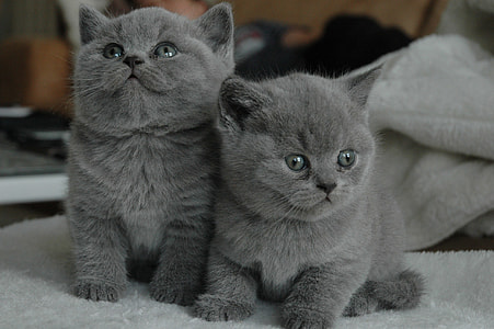 two short-coated grey kittens