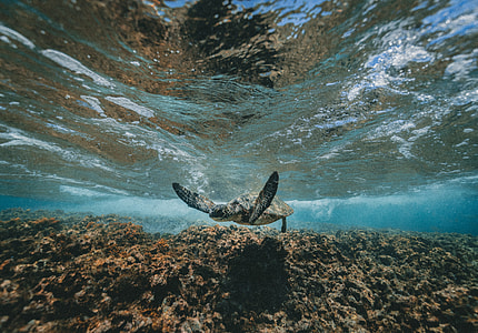 grey turtle on water
