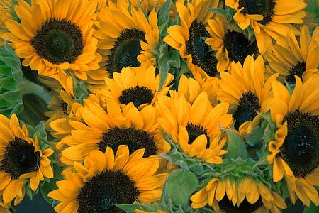 Sunflower lot at daytime