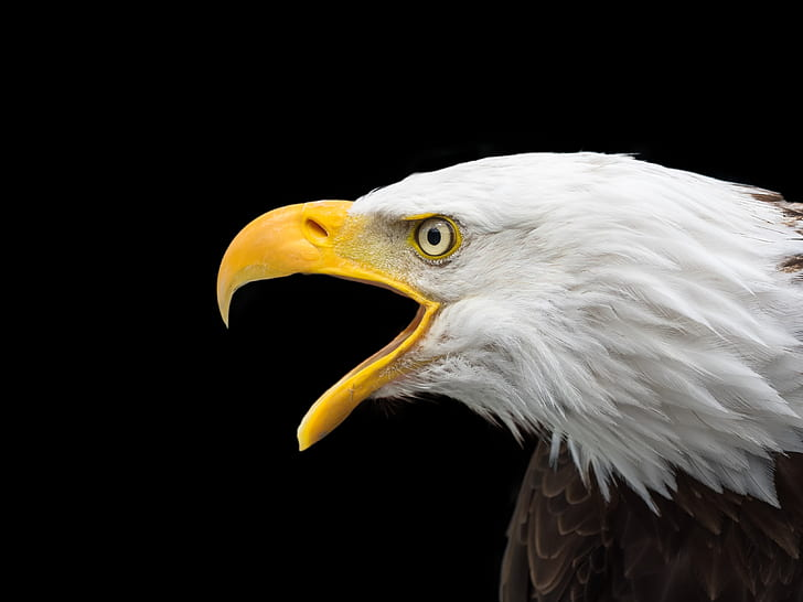 black and white American bald head eagle photo