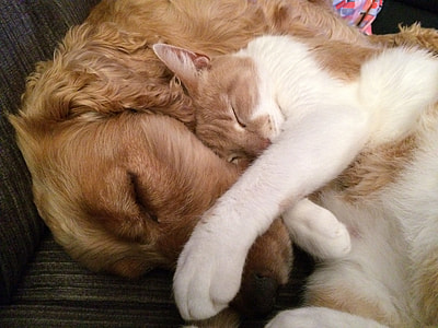 orange and white cat sleeping beside adult English cocker spaniel