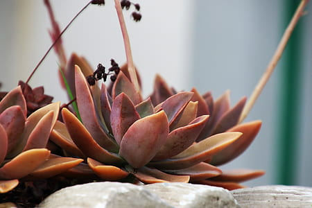 Red Succulents