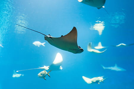 school of stingray fish