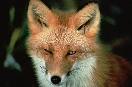 selective-focus photo of fox