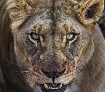 close up photo of gray lion