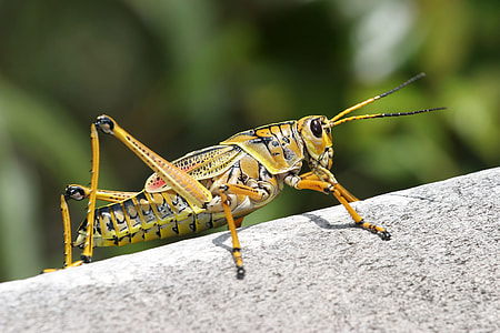 eastern lubber grasshopper in closeup photography