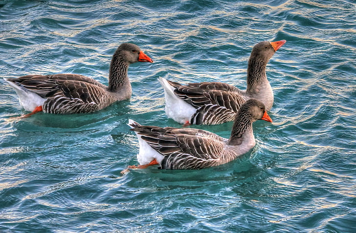 Gray and White 3 Ducks on Swiming