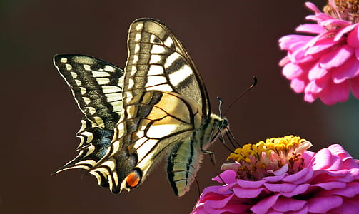 easter swallowtail butterfly perched on pink zinnia flower closeup photography