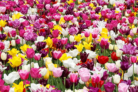 yellow, pink, and white rose flowers