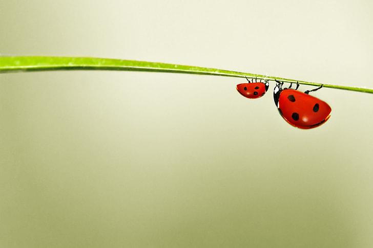 macro photograph of two ladybird bugs