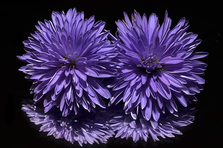 closeup photography of purple dahlias