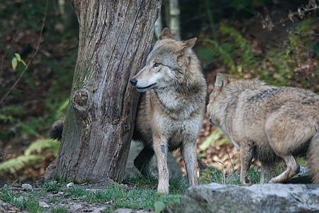 two grey wolves near tree