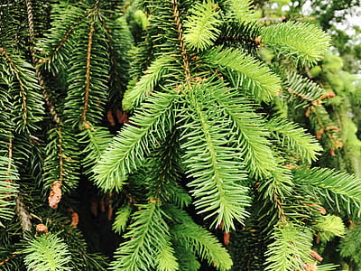 Closeup Conifer Tree