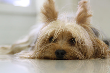 black and tan Yorkshire Terrier laying down on white floor